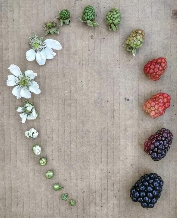 Отцветочка доягодки: как проходит жизненный цикл растений