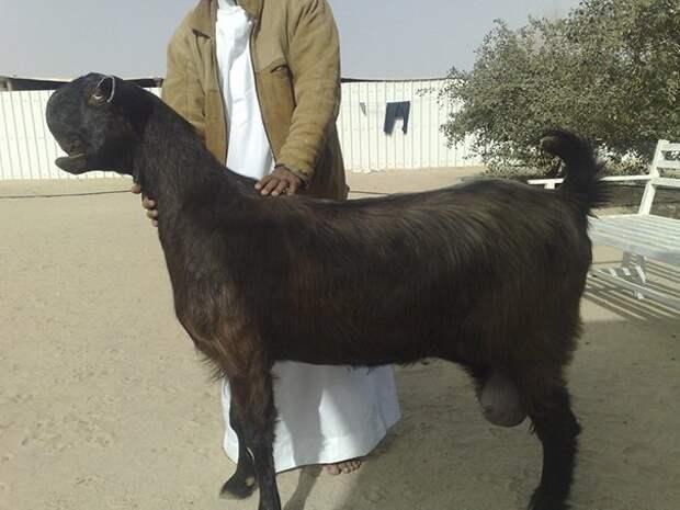5. Порода, животные, козел, козы, необычные животные, саудовская аравия, селекция, уродливые животные