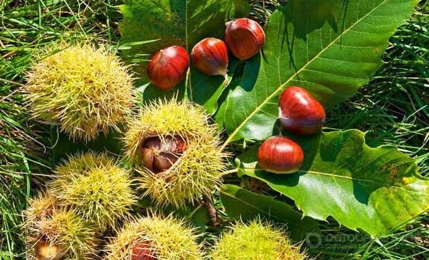 Особые деревья у черкесов - каштан и фундук.