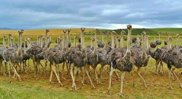 10 интересных фактов о страусах