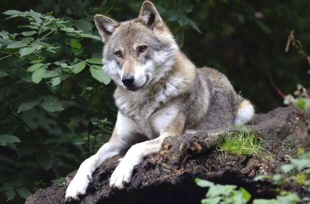С волками жить: маленькую волчицу спасли от лесного пожара и вырастили в лесхозе под Челябинском