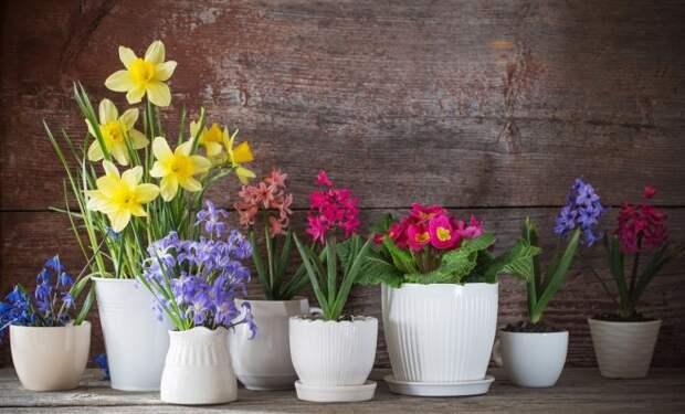 Подарок к 8 марта: как сохранить подаренные горшечные цветы в домашних условиях