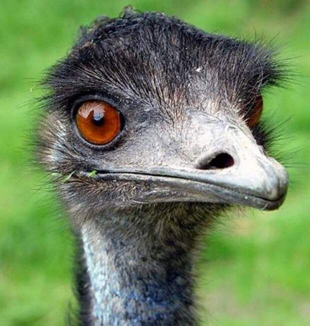 Страус-Эму-птица-Описание-и-образ-жизни-австралийского-эму-5