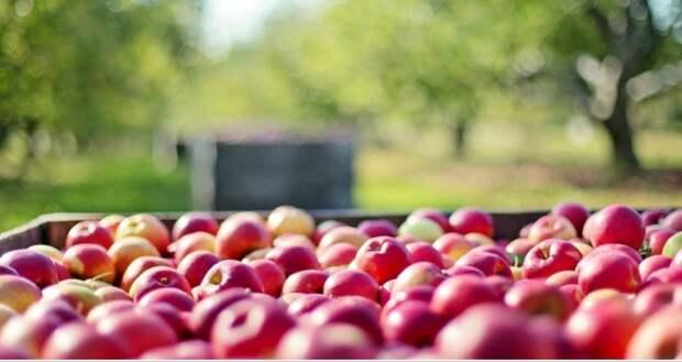 Сбор урожая яблок завершили в Крыму