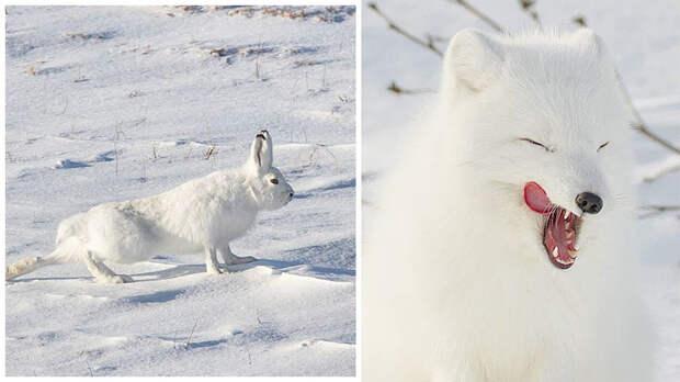 12 самых эмоциональных животных, которые живут на Таймыре (ФОТО)