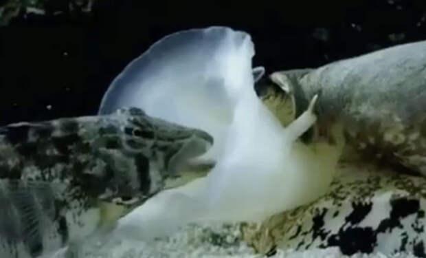 Подводное существо засосало внутрь себя рыбу целиком