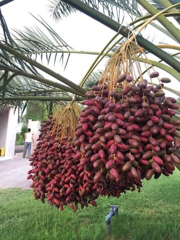 Фисташки. Они так и растут, гроздьями, но не такие огромные - как же их ветки выдерживают? еда, изобилие, красиво, растения, урожай