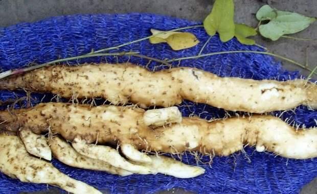 Урожай ямса с 1 растения