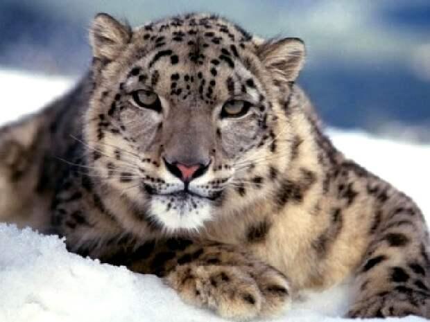 Снежный барс. Описание и образ жизни снежного барса