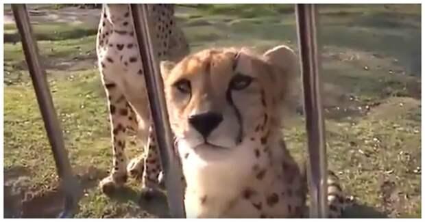 Эти мяукающие гепарды сделают ваш день лучше!