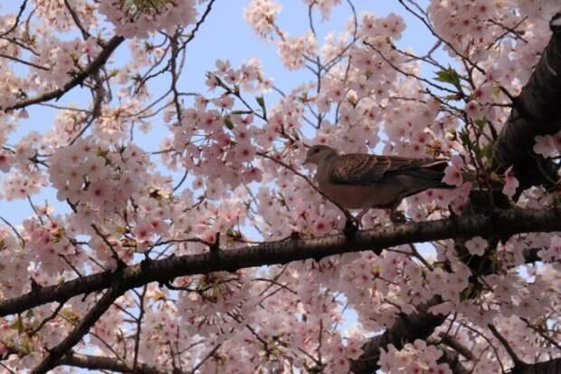 Птичка на ветке бледно-розовой сакуры. Фото