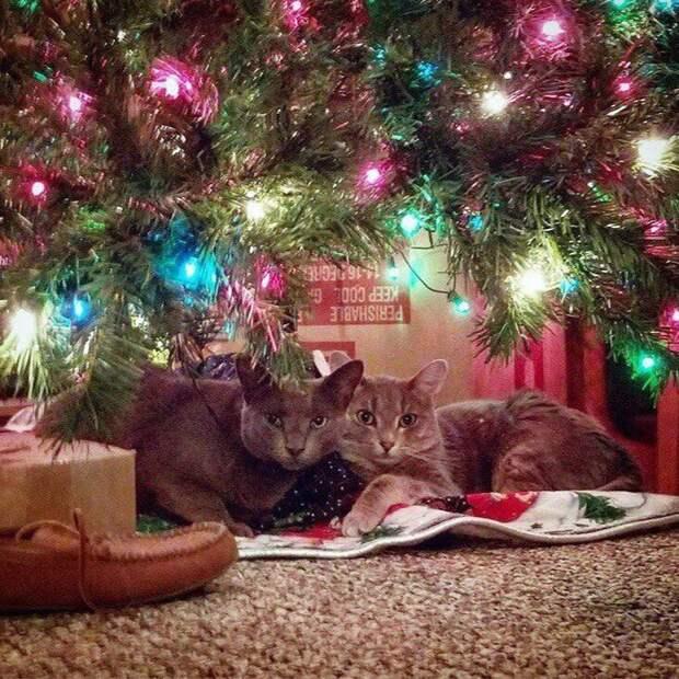 Новогодние коты животные, кот, новый год, рождество