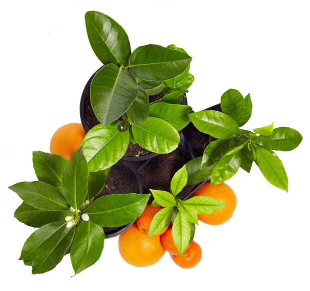 Представители рода цитрусовых прекрасны, ароматны, многолики и доступны для экспериментов практически круглый год