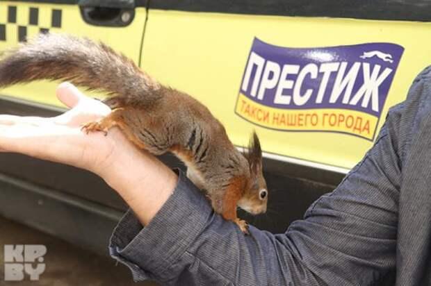 По Минску в такси ездит белка!