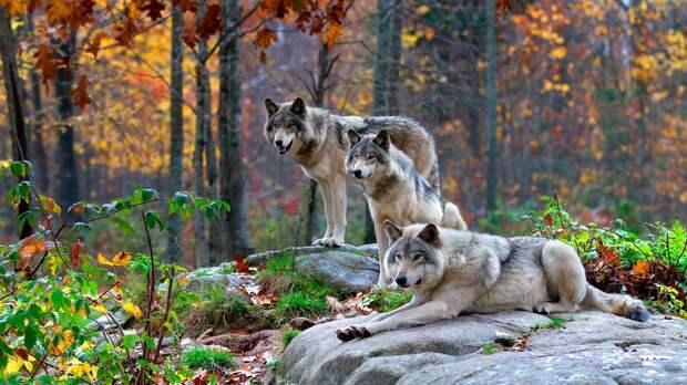 Волк – дикое хищное животное.
