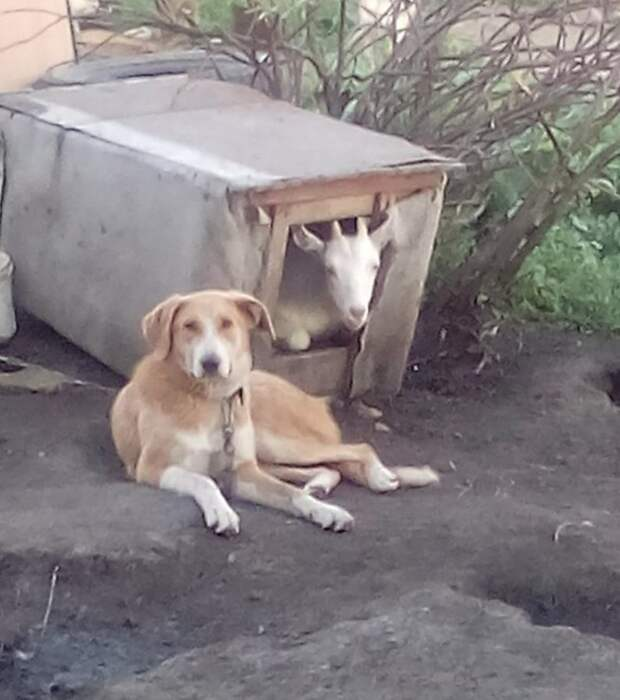 Пусти козу в свой дом - без жилья останешься домашние животные, животные, кошка, прикол, свинья, собака, юмор