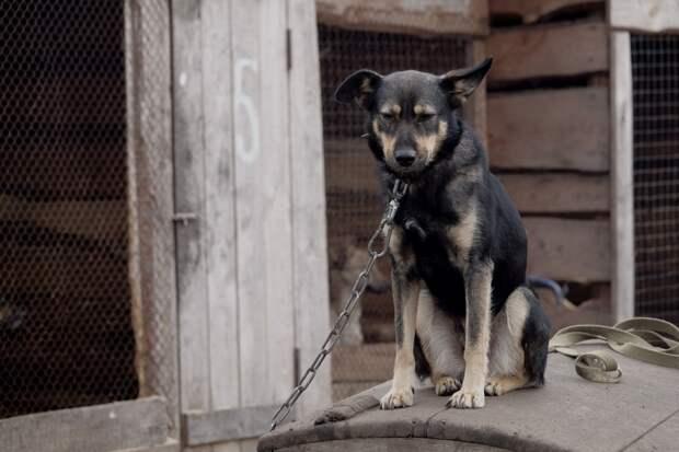 Бешеная собака в Удмуртии сорвалась с цепи и покусала хозяина