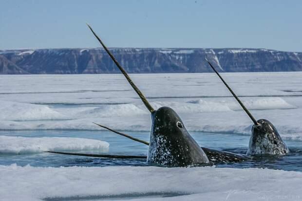 Бивни арктических нарвалов указали на изменение окружающей среды