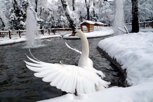 Радостный лебедь зимой