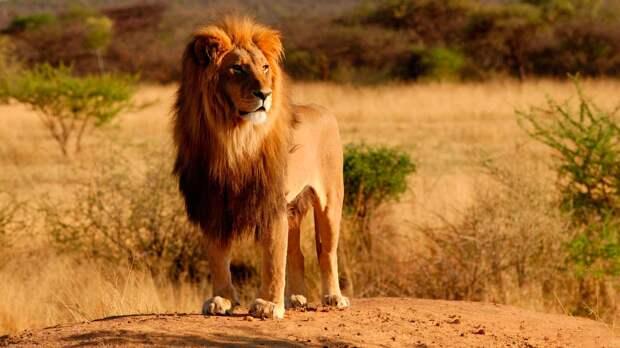 Львы живут в саваннах Африки и Индии