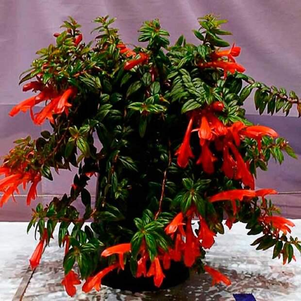 Комнатное растение Колумнея (лат. Columnea)
