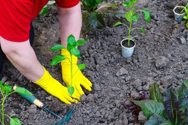 Как адаптировать перец после высадки в грунт