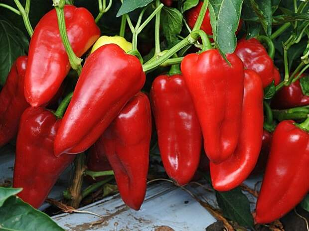 Сладкий перец (болгарский) выбор сорта