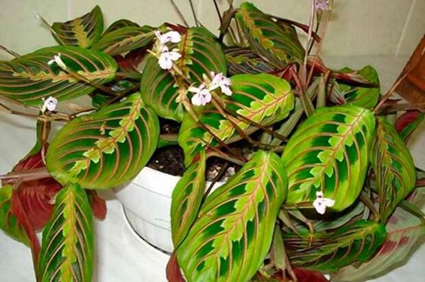 Комнатное растение Маранта (Maranta)