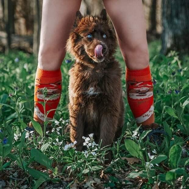 Cамый красивый щенок хаски в мире с редчайшим коричневым окрасом — Куой