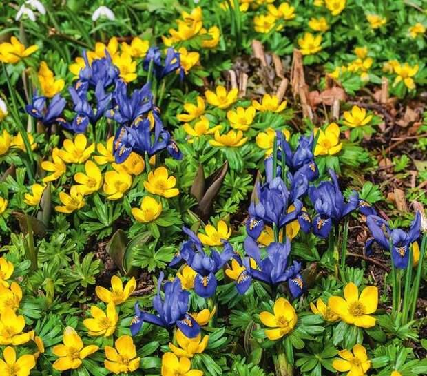 Красочный ковер из желтых весенников, синих иридодиктиумов и белых подснежников расстилается в саду ранней весной (конец марта). А из земли уже пробиваются темно-зеленые листья тюльпанов, готовых вскоре подхватить цветочную эстафету.