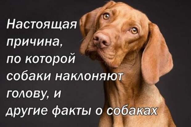 Настоящая причина, по которой собаки наклоняют голову, и другие факты о собаках