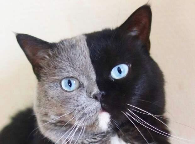 Кот Нарния, пожалуй, имеет самый нестандартный окрас в мире.