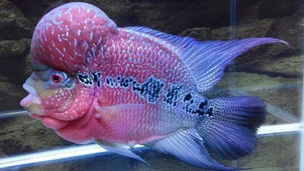 Фловерхорн аквариумные рыбки, животные, необычные рыбы, рыбы