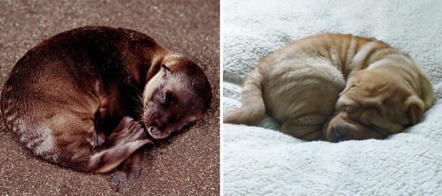 24.  животные, собака, сходство, тюлень