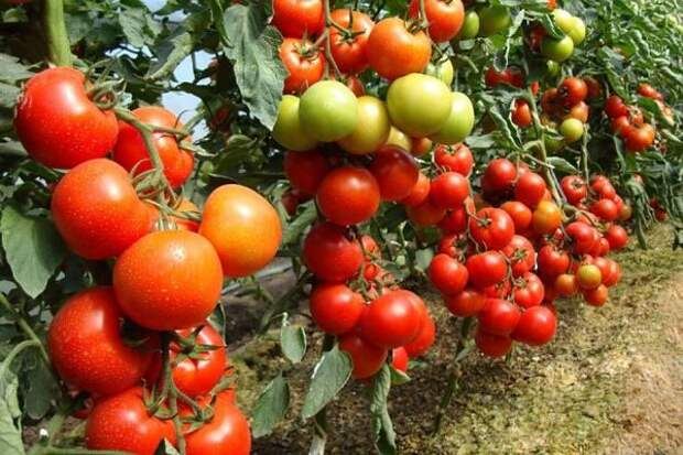Как можно добиться раннего урожая помидоров