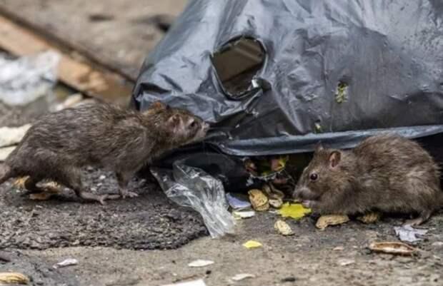 Питерский мусорный оператор расплодил крыс в Ленобласти