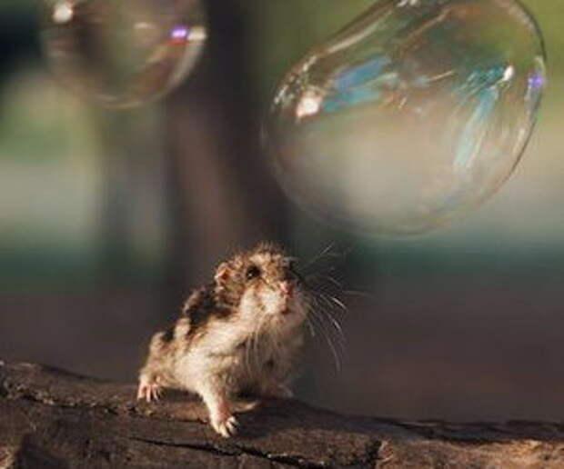 Хомяк и мыльный пузырь