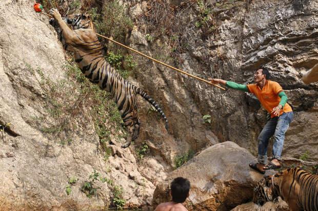 Показушные игры с тиграми в Тигрином монастыре