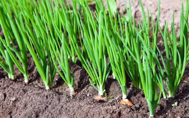 Посадите эти сидераты после снятия урожая лука и чеснока. Потом будут расти с огромной скоростью