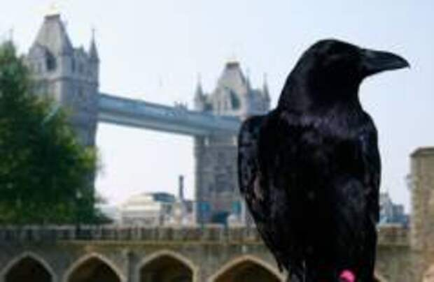 В лондонском Тауэре дали потомство черные вороны