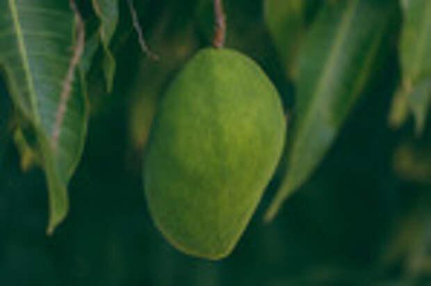 Манго: состав, польза, диета и рецепты
