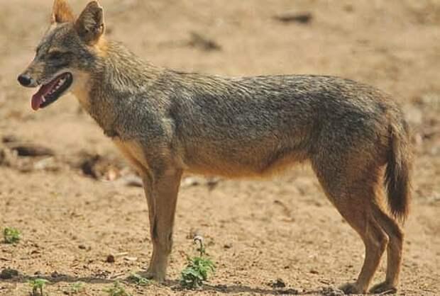 Обычный, или золотой, шакал (Canis aureus)