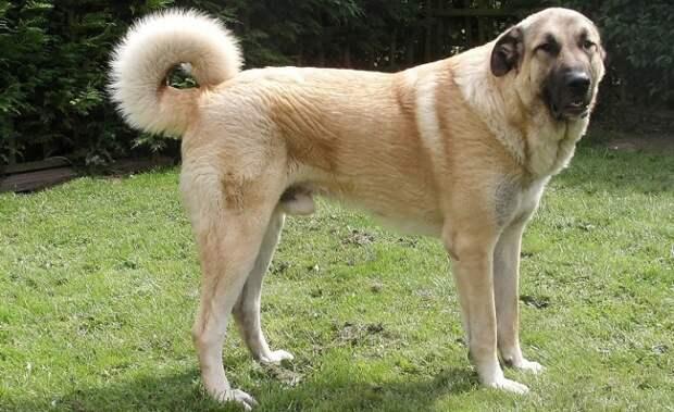 Сильные, быстрые и проворные собаки этой породы в давние времена использовались для охоты на львов, а сегодня считаются выдающимися пастухами. /Фото: egida.by