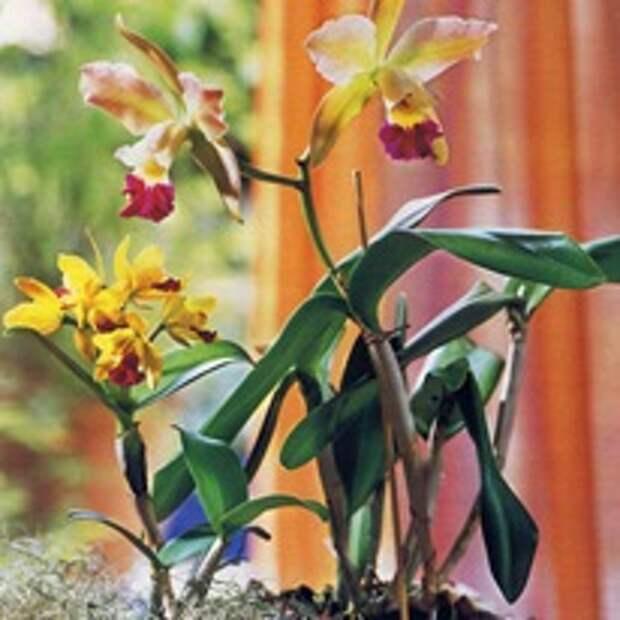 Орхидея Катлея