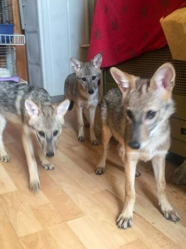 Хозяйка обратилась к зоозащитникам и те подтвердили, что это не собаки, а шакалы Шакалы, в мире, добро, животные, приют, собака