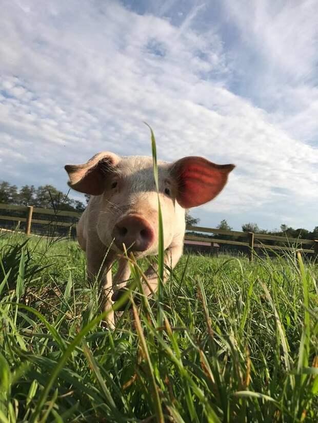 Даже писать страшно, как мучительно жила эта маленькая свинка… Но, к огромной радости, ей подарили новый, любимый дом!