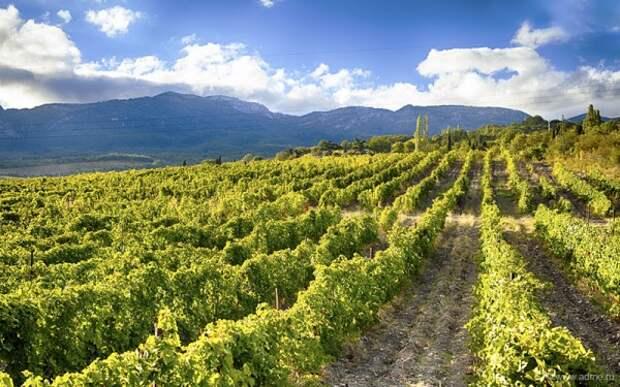 Крым – виноградный полуостров