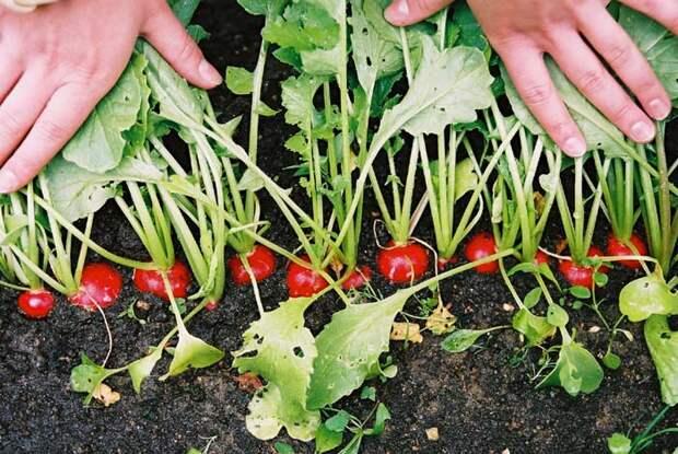 Редис ранний - особенности выращивания БигФекс - Большой Фермер-Экспресс - форум о жизни в деревне, о здоровом питании