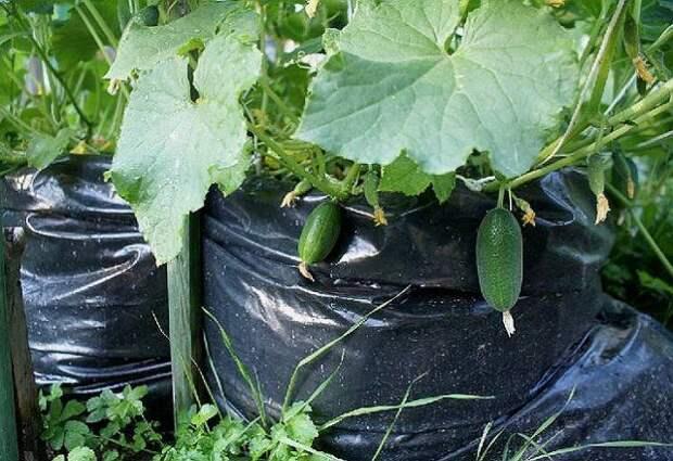 Собирать урожай с грядок-мешков удобно и приятно – плоды красивые и чистые
