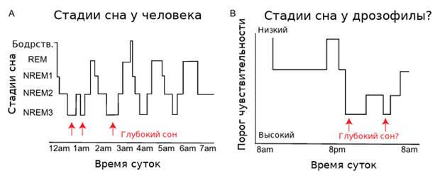 Рис. 2. Пример изменений порога чувствительности в течение суток у человека и дрозофилы